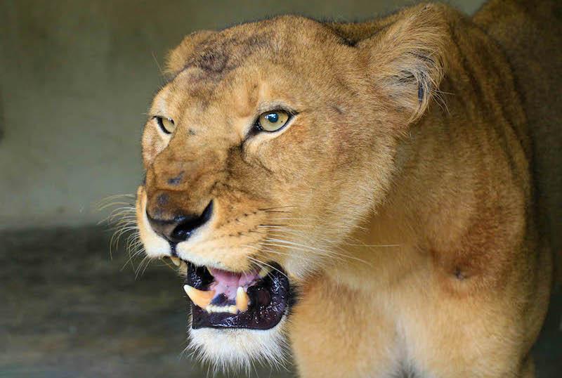 Lion at Wildlife park in the Olusegun Obasanjo Presidential library in Abeokuta