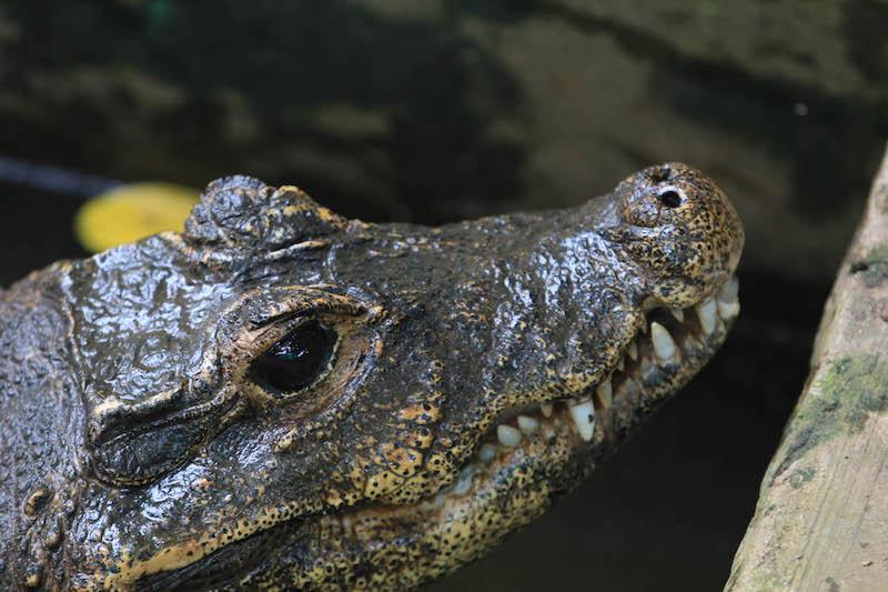 Alligator at Wildlife park in the Olusegun Obasanjo Presidential library in Abeokuta